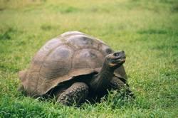 Galapagos Tortoise nigra