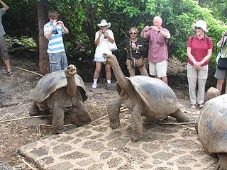 Galapagos tortoise hatchling