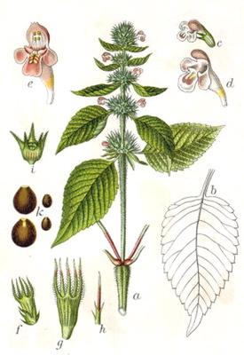 brittlestem hempnettle Galeopsis tetrahit