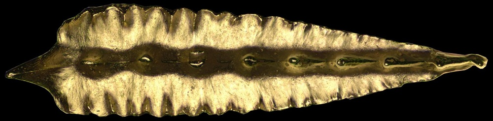 Conodont tooth