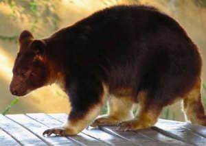 Goodfellow's Tree Kangaroo Dendrolagus goodfellowi