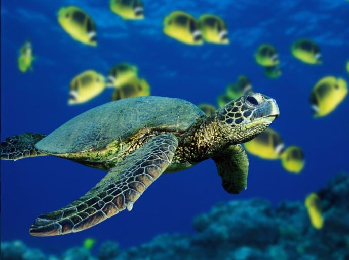 picture of a Green Sea Turtle