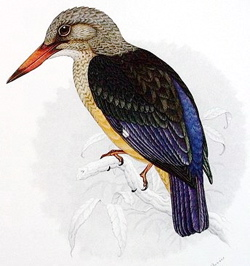 Grey-headed kingfisher, Halcyon leucocephala
