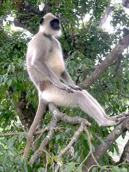 picture of a Hanuman Langur