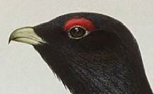 face of a capercaillie