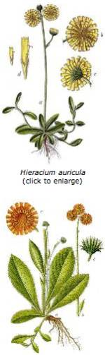 Mendel Hieracium