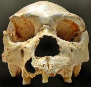 homo heidelbergensis skull