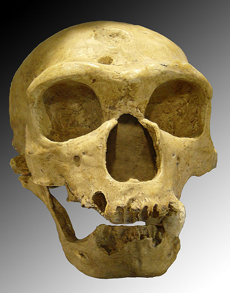 picture of a Homo neanderthalensis skull