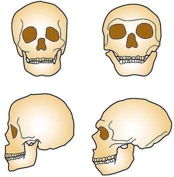 Skull of a modern human compared to that of a Neanderthal