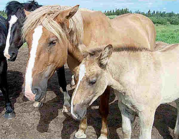 moose-horse hybrid