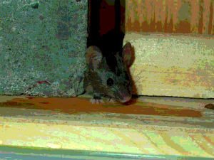 Picture of a house mouse