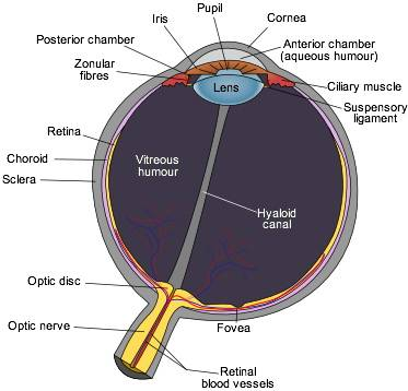 Human Eye Diagram Eye Anatomy Online Biology Dictionary