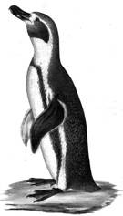 picture of Humboldt Penguin