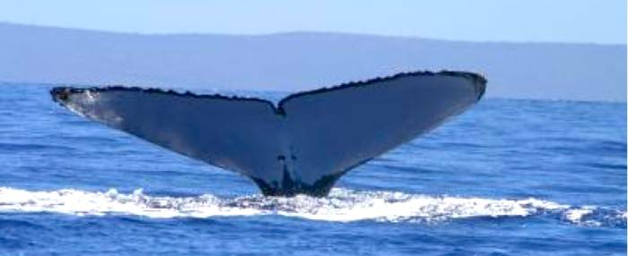 Picture of a a humpback whale showing its fluke