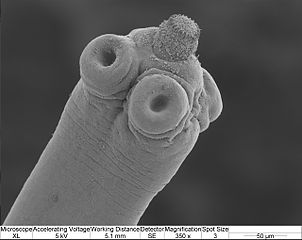 picture of Hymenolepis scolex