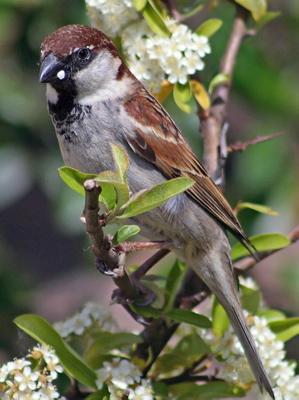 Italian Sparrow Passer italiae