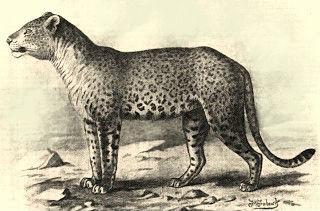 jaguar-leopard-hybrid
