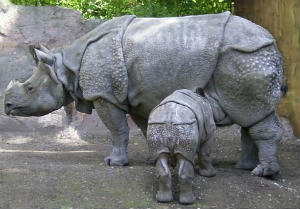 Javan rhinoceros mother and calf