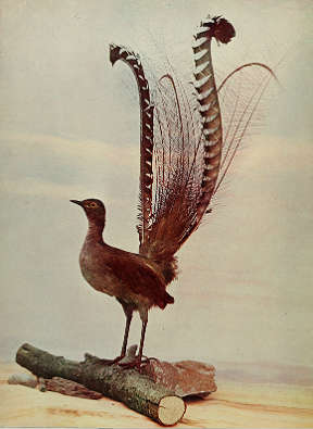 lyrebird chicken hybrids avian hybrids online biology dictionary