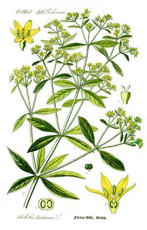 madder plant