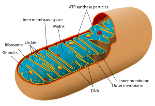 mitochondrion