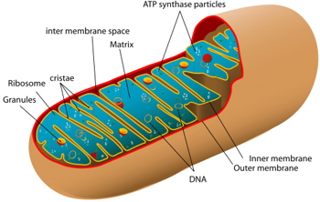 Diagram showing structure of a mitochondrion