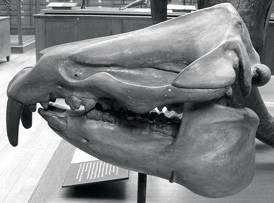Moeritherium lyonsi skull
