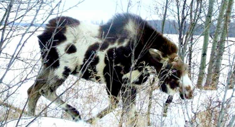 moose-cow hybrid