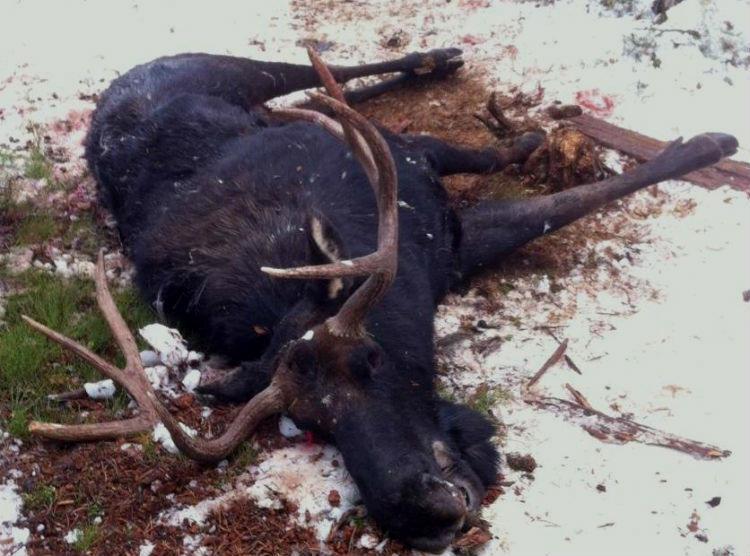 moose-deer hybrid