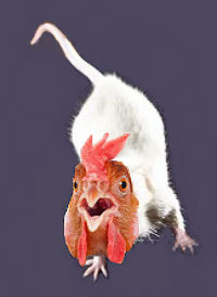 mouse-chicken hybrid