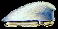 Neopilina galatheae