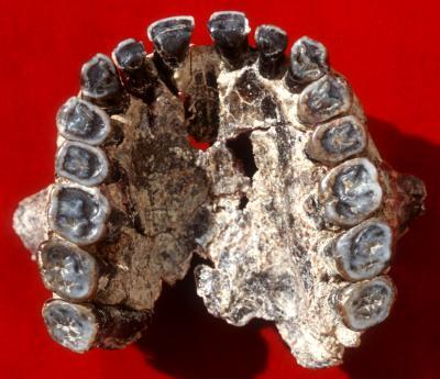 Homo habilis Maxilla OH 65