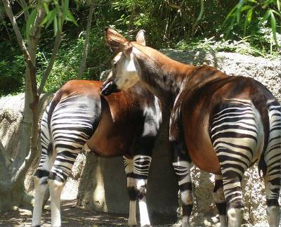 two okapis