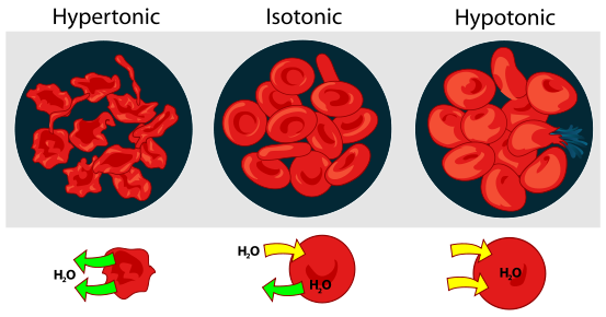 Effect of osmotic pressure on blood cells