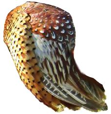 A pheasant's wing