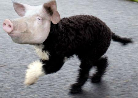 pig-dog hybrid