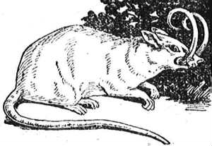 babirusa-rat hybrid