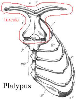platypus furcula