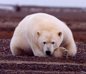 Polar Bear Thalarctos maritimus