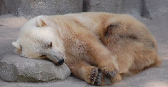 polar-brown-bear hybrid