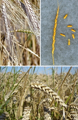 polyploid wheat