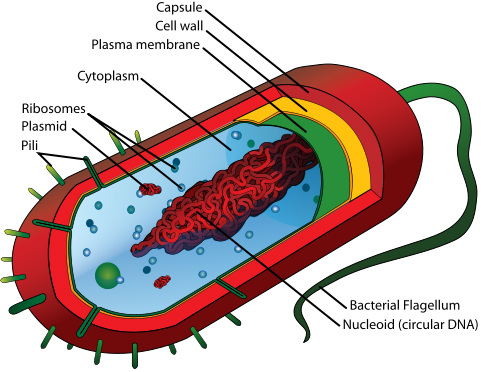 prokaryotic cell picture
