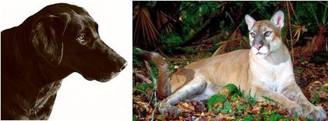 dog-puma hybrids