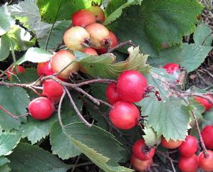 Quebec hawthorn Crataegus submollis