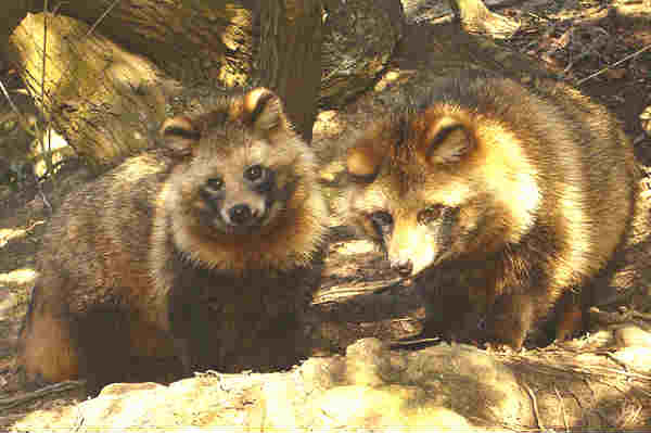 raccoon-fox hybrids