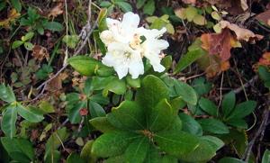 Rhododendron caucasicum