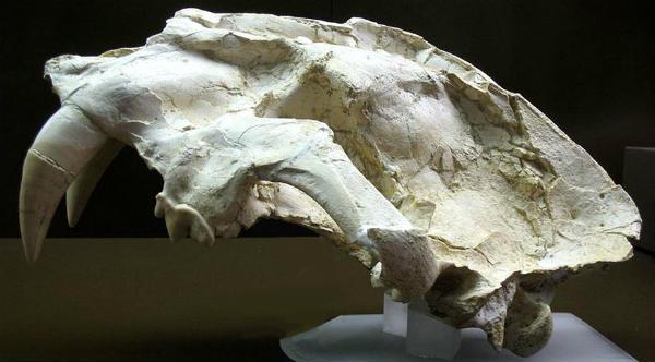 saber-toothed tiger skull