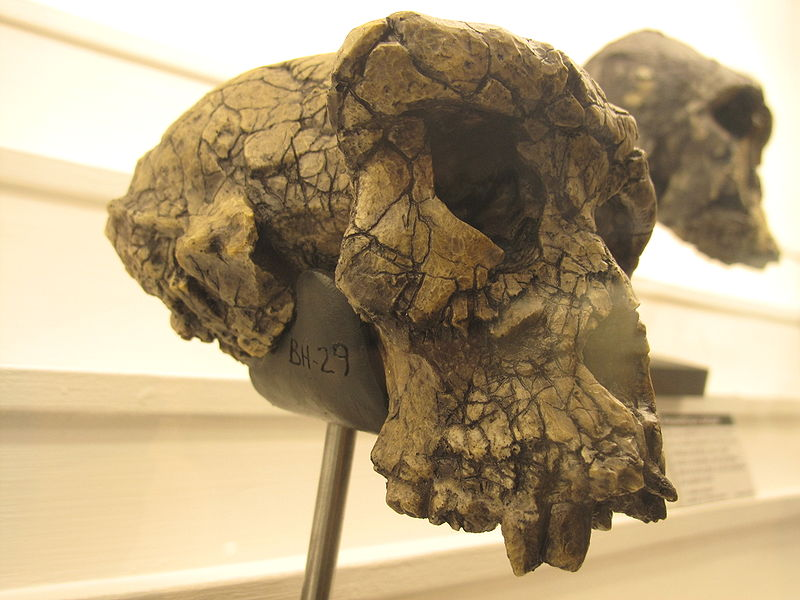 Sahelanthropus skull side view