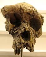 Sahelanthropus tchadensis frontal view
