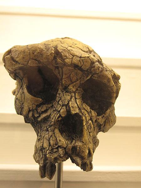 Sahelanthropus skull